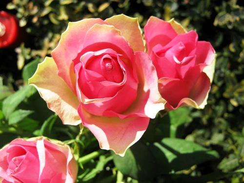 rosen-500